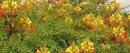 Caesalpinia-gilliesii.jpg