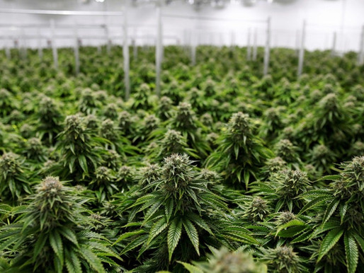 Colombia logró la primera exportación comercial de cannabis medicinal hacia México