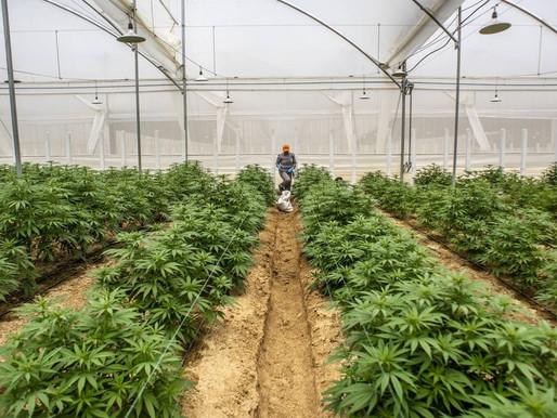 Histórico: Colombia logra la primera exportación de cannabis medicinal a México