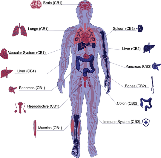 endocannabinoid-web.png