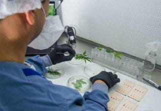 Ikänik Farms Registers And Commercializes 16 Additional Cultivares From Its Colombian Phytosanitary