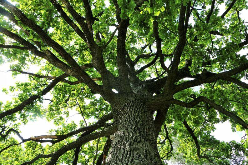 El ROBLE El ROBLE es un árbol de tronco grande, duro y fuerte..