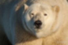 Will Rose arctic wildlife photography