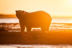 Stranded Polar Bears