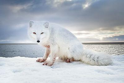 Will Rose Arctic Wildlife Photo