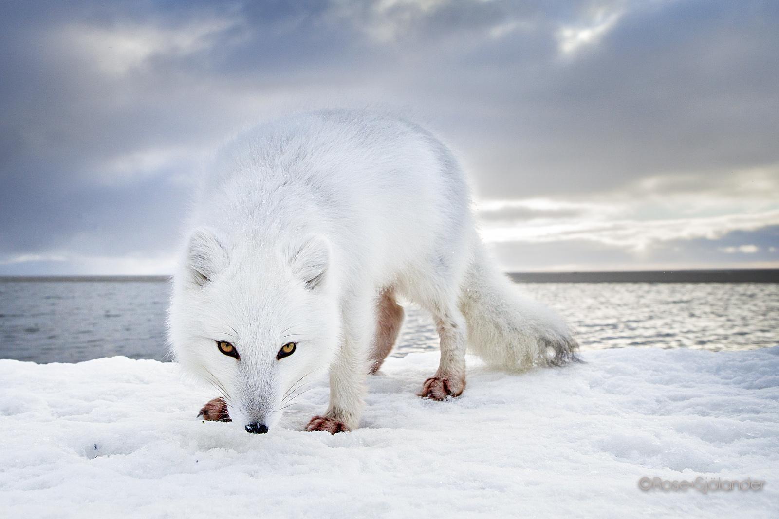 Arctic Fox - Alaska