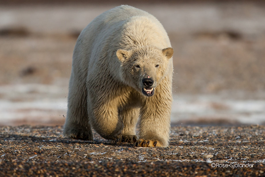 Canon 400mm - Amazing polar bear pictures from Alaska - WIll Rose Photo