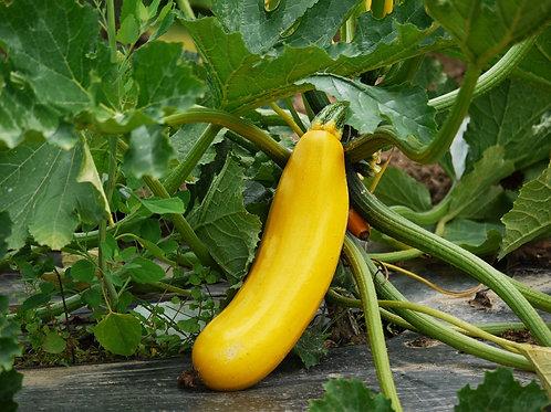 Summer Squash - Golden Zucchini