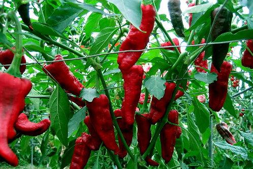 Hot Pepper - Chimayo