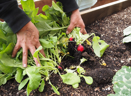 Eat Your Veggies - Radish Challenge