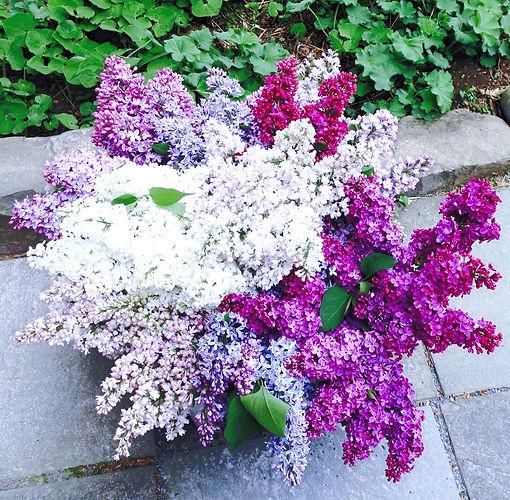 Lilacs%202%20(2)_edited.jpg