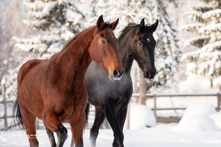 Nuoret hevoset talvimaisemassa