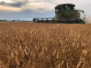 yellow_pea_harvest_2019_submitted.jpg