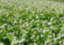 Buckwheat 1.jpg