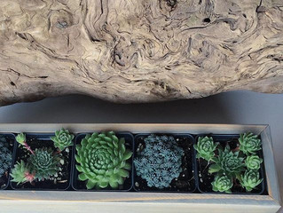 Sedum and Succulent Planters