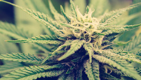 Final Cannabis Regulations Provide Business Focus For Potential Licensees