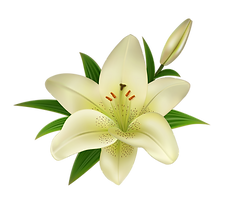 white_lily_flower_on_a_transparent_backg