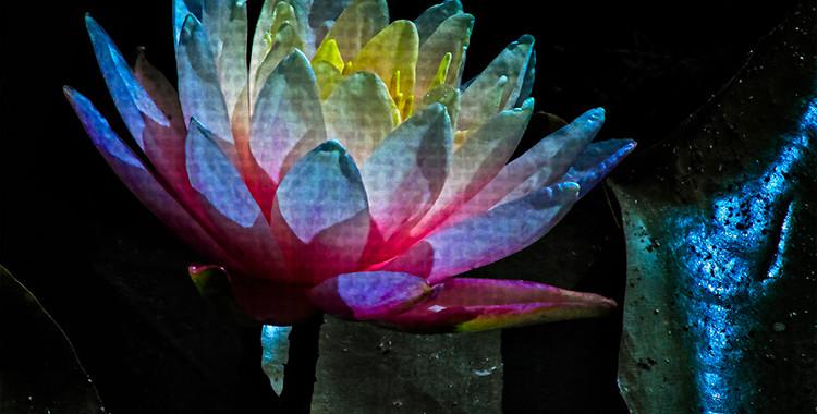 Echo Park Lotus #8