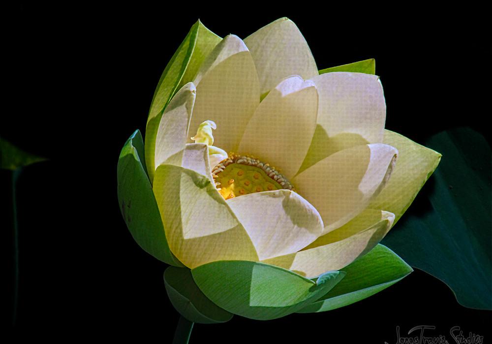 Echo Park lotus #1