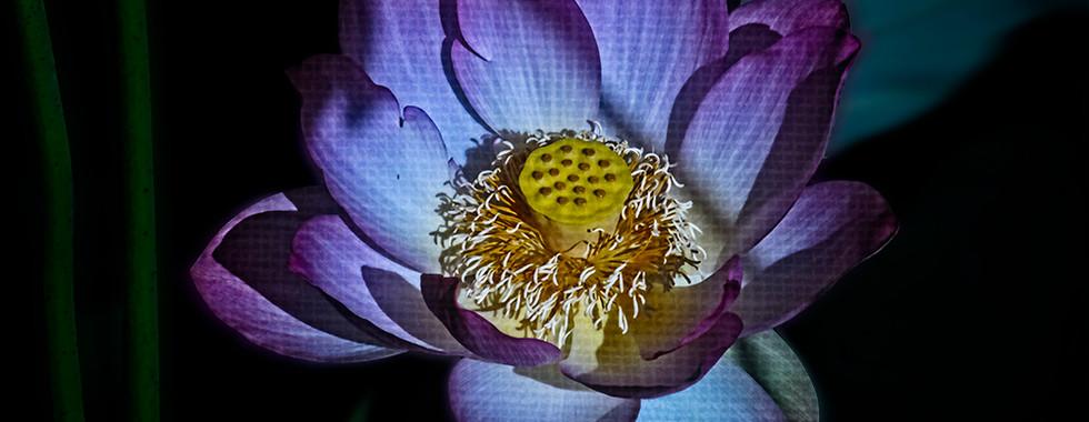 Echo Park Lotus #16