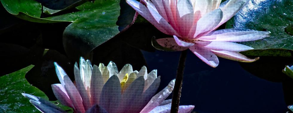 Echo Park Lotus #9