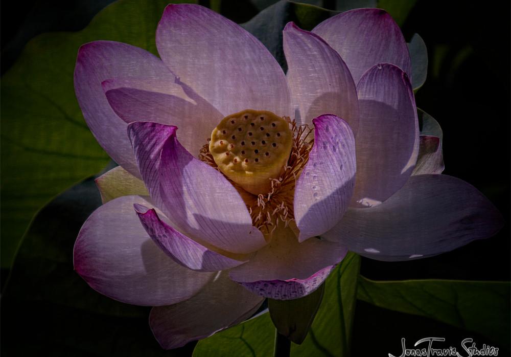 Echo Park Lotus #2