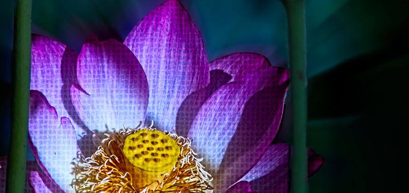 Echo Park Lotus #15