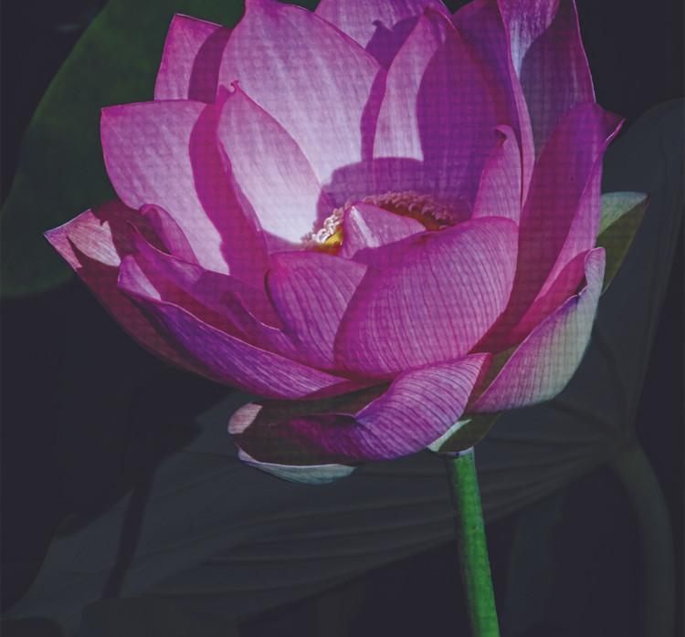 Echo Park Lotus #4