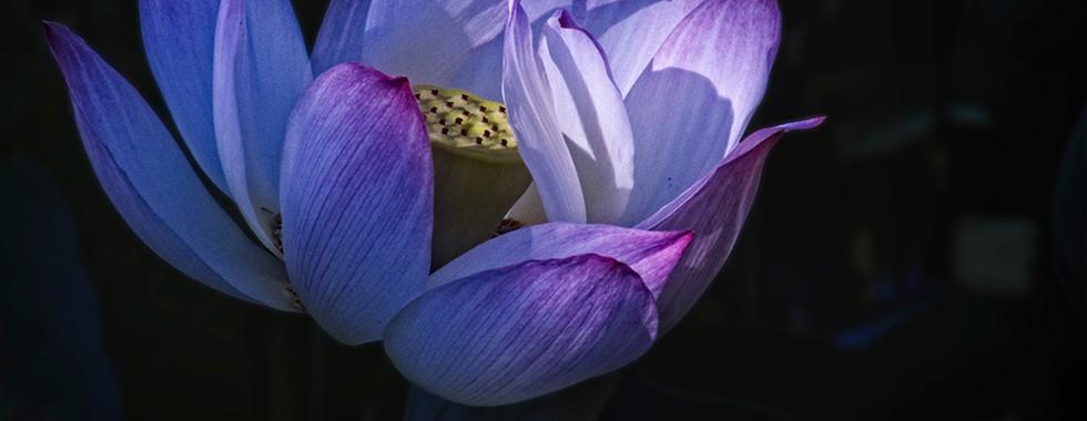 Echo Park Lotus #11