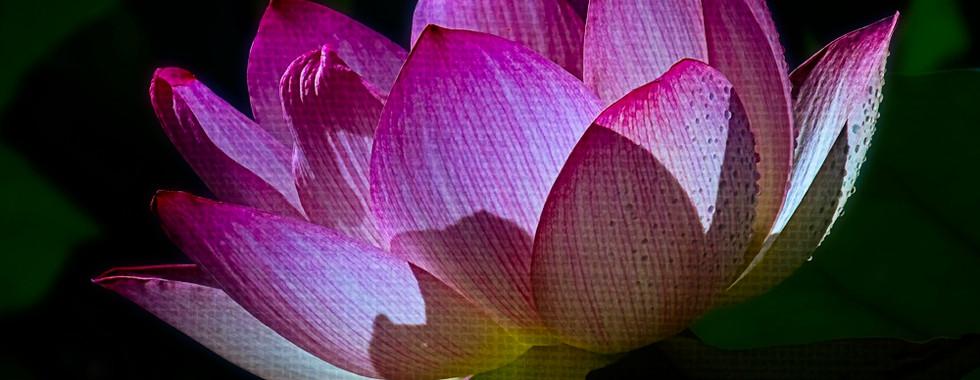 Echo Park Lotus #13
