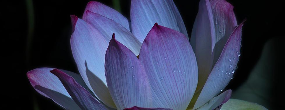Echo Park Lotus #10