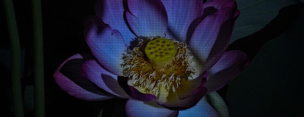 Echo Park Lotus #6