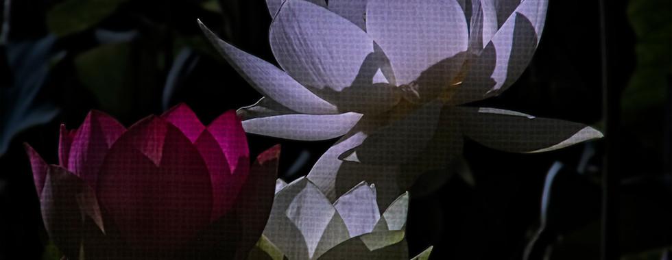 Echo Park Lotus #12