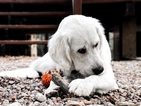 Top Ten Dog Breeds In Canada 2020