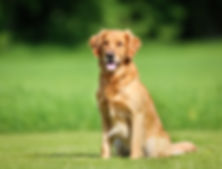 golden-retriever-dog-royalty-free-image-