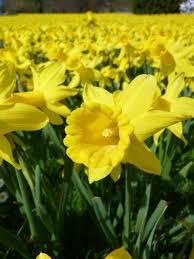DaffodilField.jpg