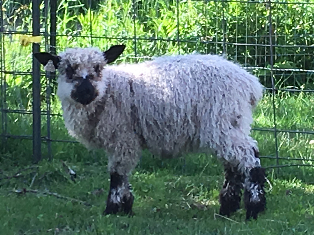 2019 lamb, high % teeswater