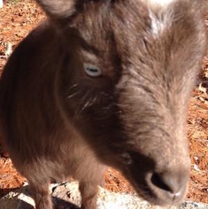 Get my goats - Ivy eyes raised