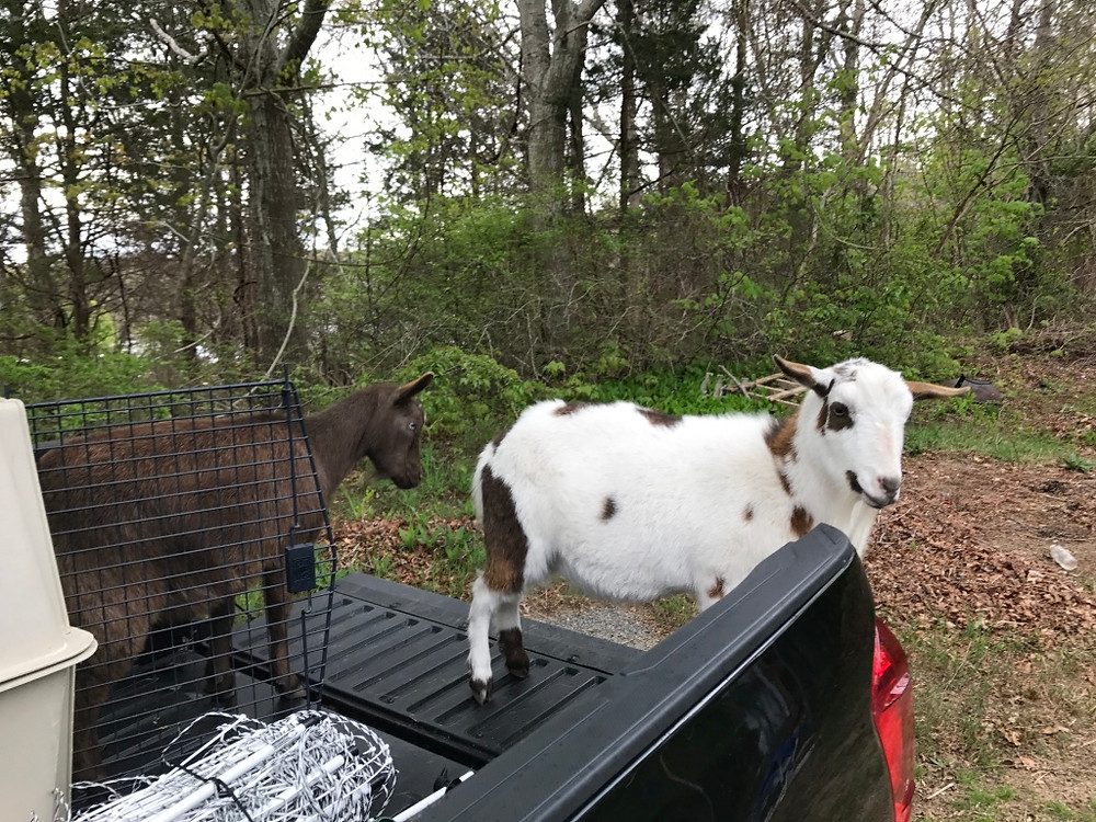 Ivy and Mac in the truck - Get my Goats