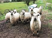 Teeswater Heritage Breed Flock