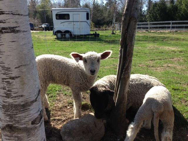 Lambs2015