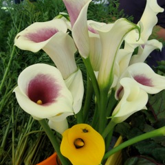 Lilies, Lilies Everywhere!