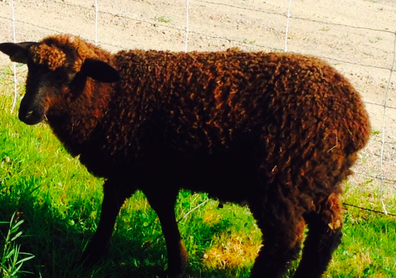 Leicester Cross Ewe
