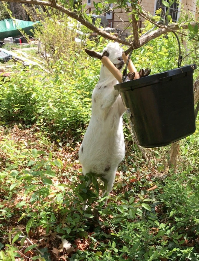 Mac looking for goat treats in my bucket- Get my Goats