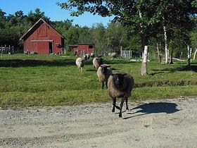 Wind Ridge Farm - sheep & lamb