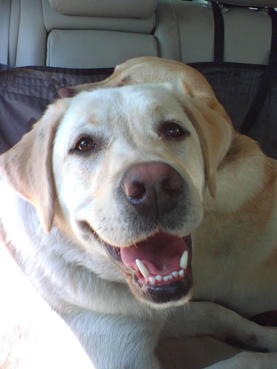 Yellow Labrador Smiling