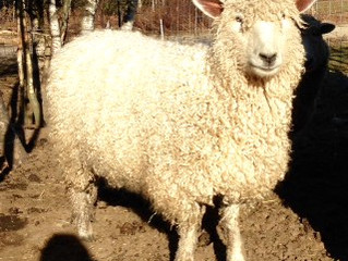 Sheep of the Month - Izzie