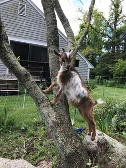 Thelma climbs a tree