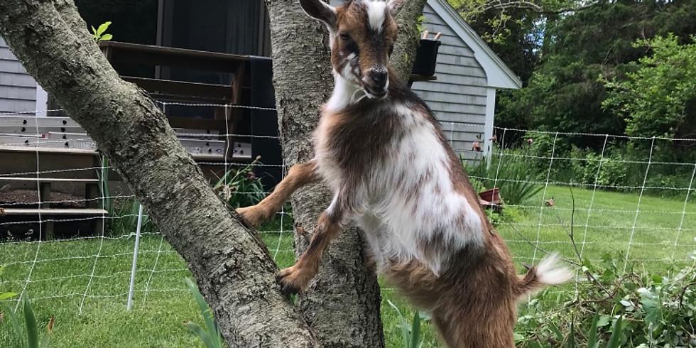 Goat Hike
