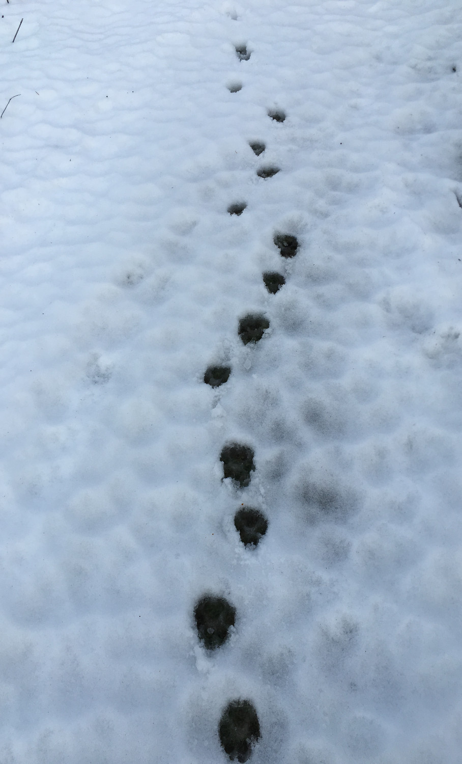 Animal tracks in the winter